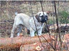 Турецкий кангал (Анатолийская овчарка) щенки