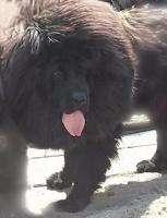Эксклюзивные щенки Тибетского мастифа