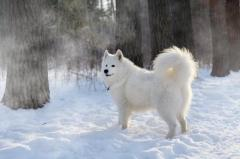 Белоснежные щенки самоеда