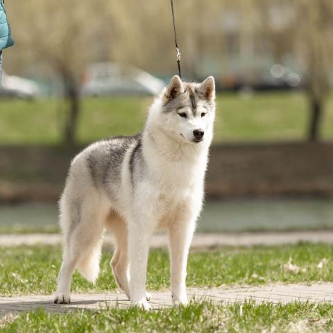 Beautiful girl Siberian Husky - 1/4