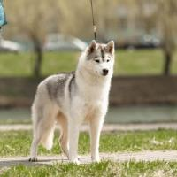 Beautiful girl Siberian Husky