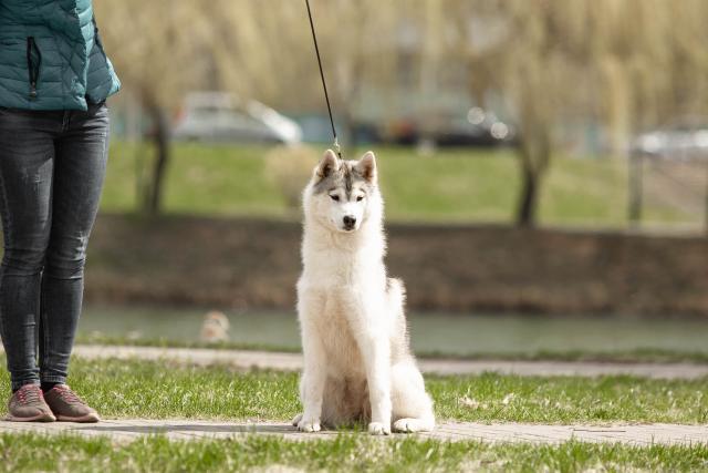 Beautiful girl Siberian Husky - 2/4