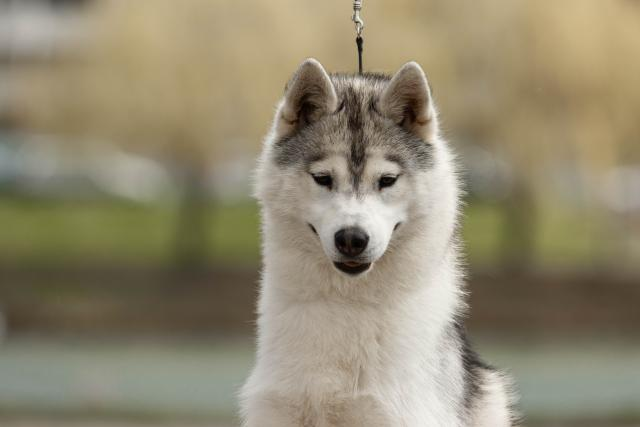 Beautiful girl Siberian Husky - 4/4