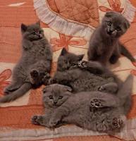 Игривые котята Sckottish Fold/Straight ищут новый дом
