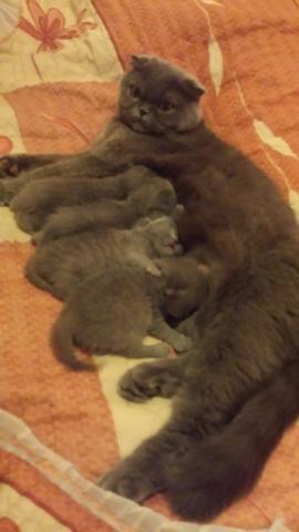 Игривые котята Sckottish Fold/Straight ищут новый дом - 3/4