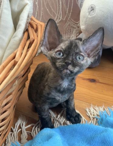 kittens Devon Rex girl and boy - 1/4